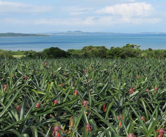 沖縄県産スナックパイン 5kg(5~10個)【送料無料】皮が緑色でも熟しています。