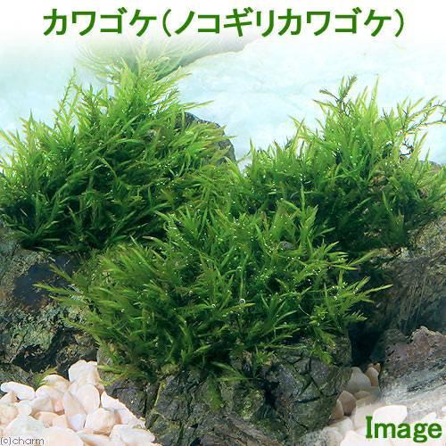 (水草)ノコギリカワゴケ(無農薬)(1パック)