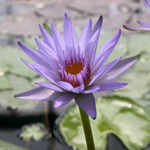 (ビオトープ/睡蓮)熱帯性睡蓮(スイレン)(紫) チョンプー ラープ(1ポット)