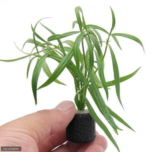 (水草)マルチリング・ブラック(黒) ケニオイグサsp オレンジ(水上葉)(無農薬)(3個)