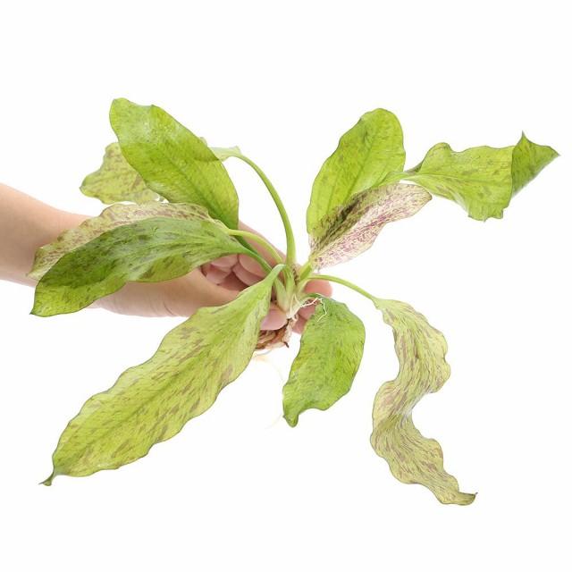 (水草)エキノドルス オゼロットグリーン(無農薬)(1株)