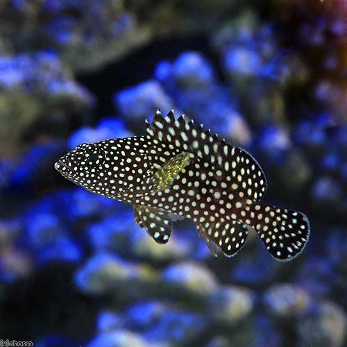 (海水魚)ナミハタ 幼魚(1匹) 北海道・九州・沖縄航空便要保温