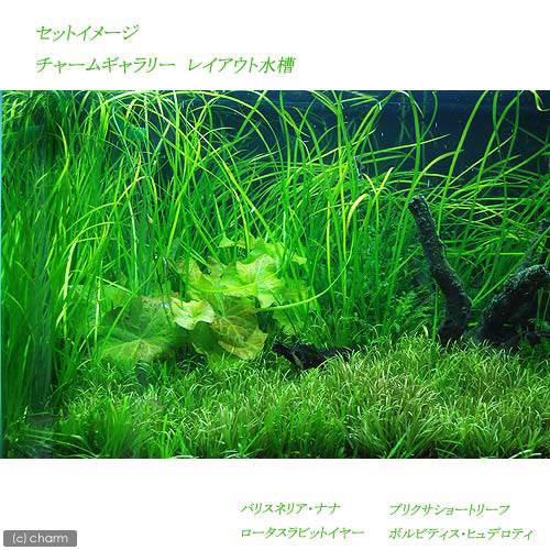 (水草)バリスネリア ナナ(無農薬)(10株)
