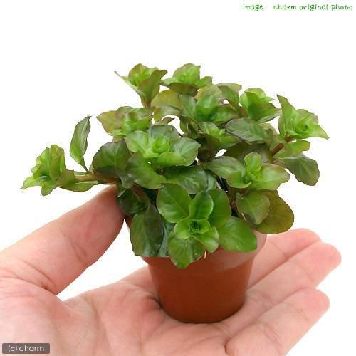 (水草)ミニ素焼き鉢 ルドウィジア オバリス(ミズユキノシタ)(水上葉)(無農薬)(1鉢)