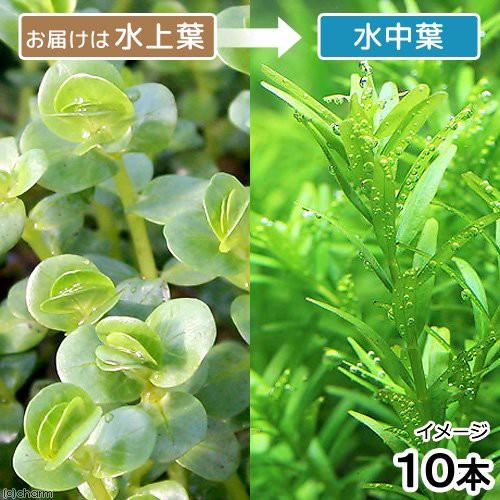 (水草)ロタラsp.グリーン 丸葉タイプ(水上葉)(無農薬)(10本)