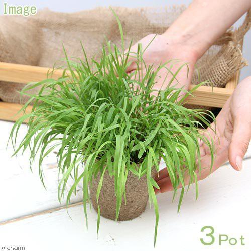 (観葉植物)長さで選べる スーダングラス 直径8cmECOポット植え(長め)(無農薬)(3ポット)