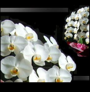 【結婚祝いの花 父の日 71】 スタンダード 大輪咲き 3L 胡蝶蘭 花ギフト結婚祝いの花祝い