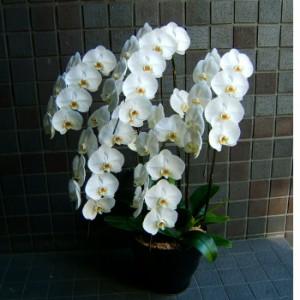 【結婚祝いの花 父の日 73】 スタンダード 大輪咲き 5L 胡蝶蘭 花ギフト結婚祝いの花祝い