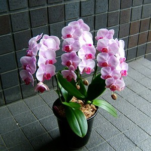 【結婚祝いの花 父の日 76】 ブランド品種 ピンク系 中輪 胡蝶蘭 花ギフト結婚祝いの花祝い