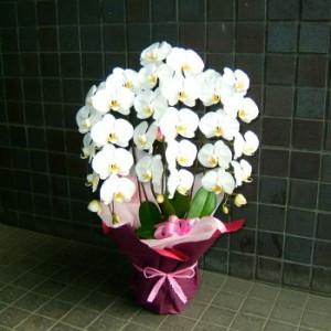 【結婚祝いの花 父の日 77】 スタンダード 大輪咲き 3L 胡蝶蘭 花ギフト結婚祝いの花祝い