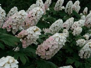 アジサイ(紫陽花)カシワバアジサイ(柏葉紫陽花)白花 植木 庭木 苗木 落葉低木