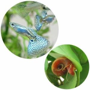 (熱帯魚)国産ミックスグッピー(1ペア)+レッドラムズホーン(5匹) 北海道・九州・沖縄航空便要保温