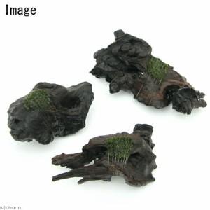 (水草)巻きたて フジウロコゴケ付 流木 Sサイズ(7〜13cm)(無農薬)(1本)