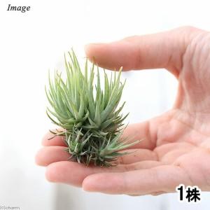 (観葉植物)エアープランツ ティランジア ロリアセア クランプ Mサイズ(1株)