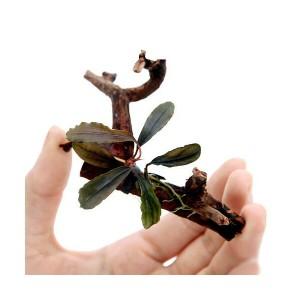 (水草)ブセファランドラsp.(クアラクアヤン2)付 ミニ流木(無農薬)(5本)