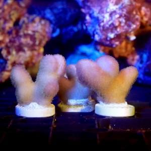 (海水魚 サンゴ)トンガ産 ショウガサンゴ ピンク プラグ付き(1個) 北海道・九州航空便要保温