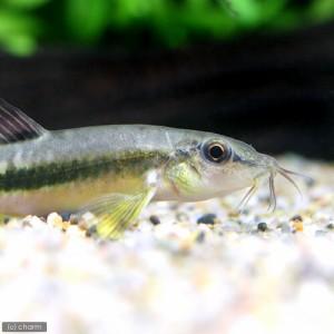 (熱帯魚)ミクロネマケイルス・プルケール(1匹) 北海道・九州・沖縄航空便要保温