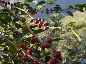 【レギュラー珈琲豆】お徳用500g グァテマラ サンフアン農園/テキシク種/シティ/フローラルな香りとまろやかな口当たり