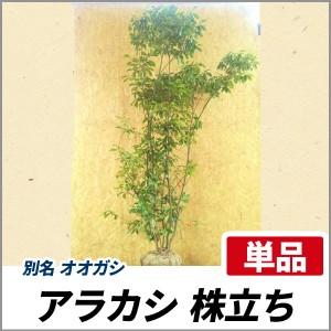 アラカシ 株立ち 樹高1.8~2.0m前後(根鉢含まず) 単品 常緑 株立ち 植木 庭木 オオガシの画像