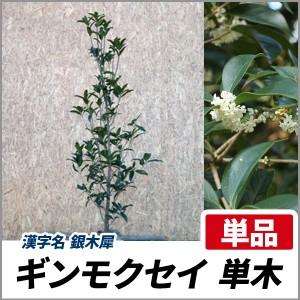 ギンモクセイ 単木 樹高1.5m前後(根鉢含まず) 単品 常緑 植木 庭木 花木 シンボルツリー 銀木犀の画像
