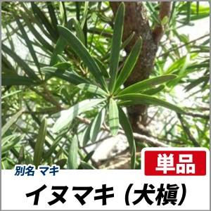 イヌマキ 樹高1.8~2.0m前後(根鉢含まず) 単品 常緑 植木 庭木 犬槇の画像