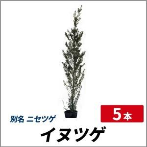 イヌツゲ 樹高80cm前後 5本セット 常緑 苗木 庭木 生垣 目隠し ニセツゲの画像