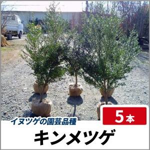 キンメツゲ 樹高80cm前後 5本セット 常緑 庭木 生垣 目隠し イヌツゲの園芸品種の画像