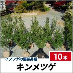 キンメツゲ 樹高80cm前後 10本セット 常緑 庭木 生垣 目隠し イヌツゲの園芸品種の画像
