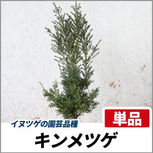 キンメツゲ 樹高1.0m前後 単品 常緑 庭木 生垣 目隠し イヌツゲの園芸品種の画像