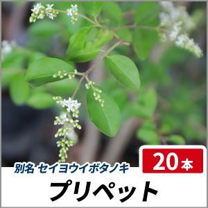 プリペット 樹高50cm前後 20本セット 半常緑 植木 庭木 生垣 セイヨウイボタノキの画像