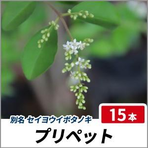 プリペット 樹高1.0m前後 15本セット 半常緑 植木 庭木 生垣 セイヨウイボタノキの画像