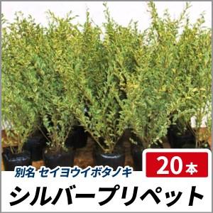 シルバープリペット 樹高50cm前後 20ポットセット 常緑 斑入り 庭木 生垣 セイヨウイボタノキの画像