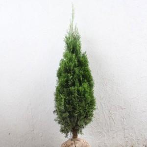 スマラグ エメラルドグリーン 樹高1.2m前後 4本セット コニファー 生垣