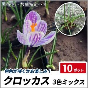 クロッカス 3色ミックス 10ポットセット 球根植物 下草