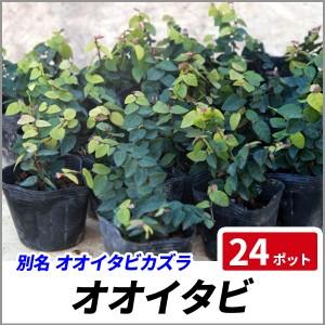 オオイタビ 24ポットセット 常緑 苗 グランドカバー 観葉植物 プミラの画像