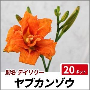 ヤブカンゾウ 20ポットセット 多年草 苗 ガーデニング デイリリーの画像