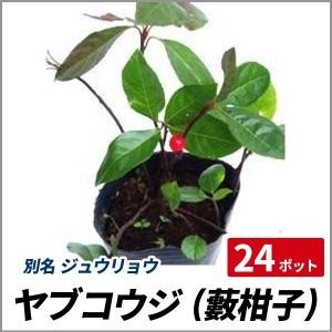 ヤブコウジ 24ポットセット 十両 常緑 日陰 グランドカバー 寄せ植え 盆栽の画像