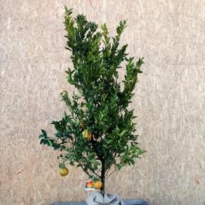ポンカン 樹高80cm前後 単品