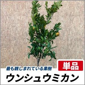 ウンシュウミカン 樹高1.2〜1.5m前後  単品