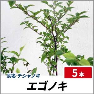 エゴノキ 樹高60cm前後 5本セット 落葉 チシャノキ 苗木 庭木の画像