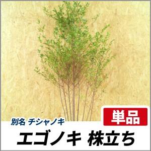 エゴノキ 株立ち 樹高1.8~2.0m前後(根鉢含まず) 単品 落葉 植木 庭木 シンボルツリー チシャノキの画像