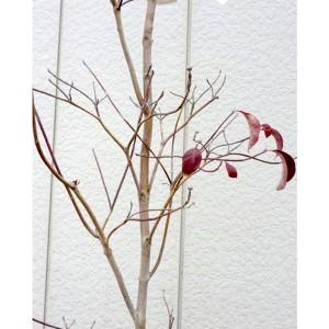 ハナミズキ チェロキーチーフ 赤花 単木 樹高1.5m前後 (根鉢含まず)