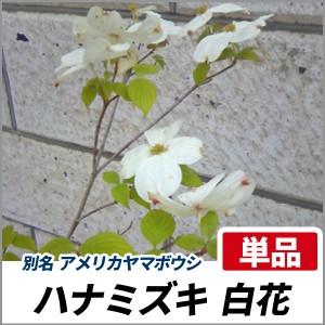 ハナミズキ 白花 単木 樹高1.8〜2.0m前後 (根鉢含まず)