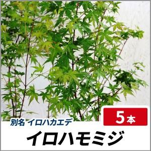 イロハモミジ 樹高50cm前後 5本セット 落葉 苗木 庭木 イロハカエデの画像