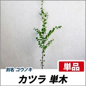 カツラ 単木 樹高1.8~2.0m前後(根鉢含まず) 単品 落葉 植木 庭木 シンボルツリー コウノキの画像
