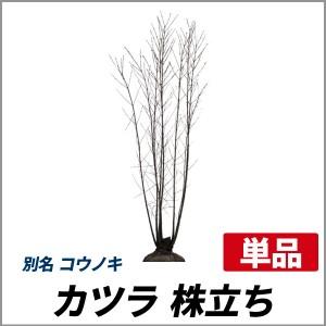 カツラ 株立ち 樹高1.8~2.0m前後(根鉢含まず) 単品 落葉 株立ち 庭木 シンボルツリー コウノキの画像