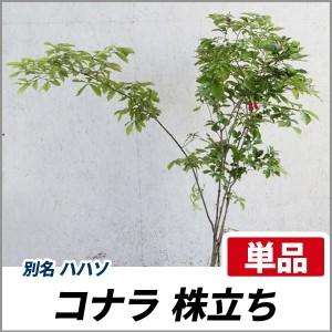 コナラ 株立ち 樹高1.8~2.0m前後(根鉢含まず) 単品 落葉 株立ち 庭木 シンボルツリー どんぐりの画像
