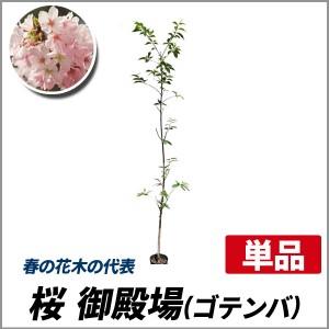 サクラ 御殿場 (ゴテンバ) 樹高1.8~2.0m前後(根鉢含まず) 単品 落葉 植木 庭木 花木 シンボルツリー 桜の画像