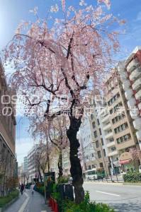 【日本の風景ポストカード】東京都渋谷区東 明治通りの桜の葉書ハガキはがき photo by MIRO