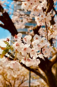 【日本の風景ポストカード】東京都渋谷区渋谷東明治通りの桜の葉書ハガキはがき photo by MIRO